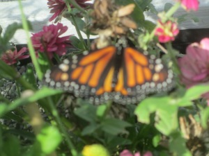 A Monarch Butterfly from Butterfly Way in Fortuna